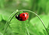 Portami fortuna, almeno tu (Miss_Baraonda) Tags: insect erba finepix ladybug fujifilm rosso insetto coccinella atestaingiù s8000fd portafortunaachiunquepassidiqui