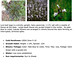 Lyre Leaf Sage