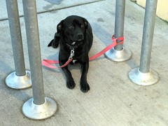 Black Dog Waiting Outside the Goodwill Store (Pixel Packing Mama) Tags: flickrcentralpool dogsset pixelpackingmama dorothydelinaporter allanimalspool reallyunlimited montanathecat~fanclubpool dogsdogsdogspool 15favouritespool usaunitedstatesofamericapool worldsfavorite1ormorefaveseachnolimitoffavedphotopool ceruleanthecat~fanclubpool 125viewspostupto5perdaypool everythingamericapool corvallisphotographspool blackanimalspool dogdayspool flickrsdogloverspool notmypetnowildlifeorzoophotospleasepool amazingdogsandcatspool monochromepetspool justmuttspool hybriddogsbringonthemixedbreedspool 50plusphotographersaged50andbetterpool photosfrom20002010pool americanphotospool favoritedpixfirsthalfof2010set dogperrochienhundcanehonddogspool pixuploadedfirsthalfof2010set pixtakeninfirsthalfof2010set picturestakenwithcanonpowershota2000isin2010set obsessivephotography30perdaypool reallyunlimitedpleasevotepool pixelpackingmama~prayforkyronhorman photosfrom20102020pool oversixmillionaggregateviews over430000photostreamviews