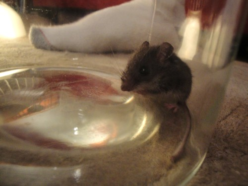 Photo of a mouse trapped in a jar