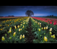 Wooden Shoe Tulips (Jesse Estes) Tags: clouds river wind columbiarivergorge jesseestesphotography
