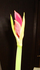 Amaryllis on Feb 7, 2010