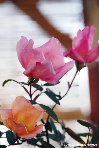 """""""Mutabilis"""" rose"""