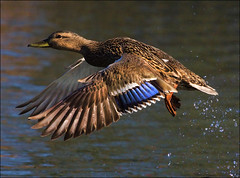 ~ Take-Off ~ (ViaMoi) Tags: canada bird water speed photography photo duck wings action ottawa feathers freeze splash waterfowl flap avian thisbig viamoi