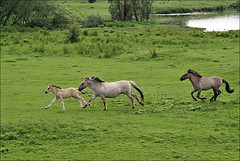 Playtime Konik Horses (Foto Martien (thanks for over 2.000.000 views)) Tags: holland netherlands dutch arnhem flock nederland naturereserve rhine herd rijn a100 uiterwaarden tarpan gelderland meinerswijk betuwe oostvaardersplassen konik floodplain natuurgebied natuurreservaat kudde sigmaapomacro70300 smallhorse arnhemzuid sonyalpha100 theunforgettablepictures konikpolski martienuiterweerd polishprimitivehorse martienarnhem martienholland semiwildpony kleinpaard halfwildepony europesewildepaard zuidelijkarnhem europeanwildhorse