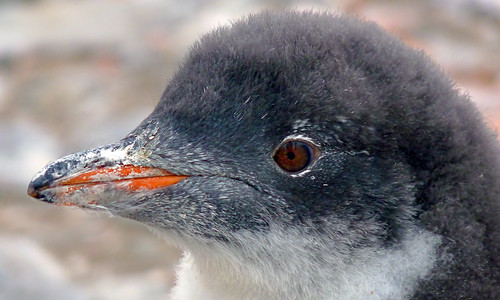 Gentoo Penguin Chick-Cuverville Island by Bill Rosenthal Photography