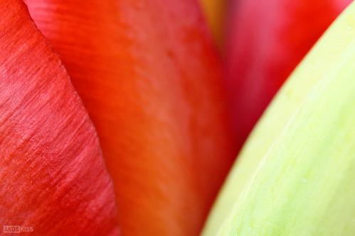 Tulipán minimál