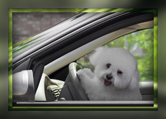 Jesus, Take The Wheel (Mona Hura) Tags: road dog pet white west ford car animal wheel hair puppy fur drive back lyrics hands friend automobile driving gulf ride steering florida song seat jesus north save front best take bichonfrise chance paws breeze sick companion panhandle bonjovi carrieunderwood jesustakethewheel 9132a
