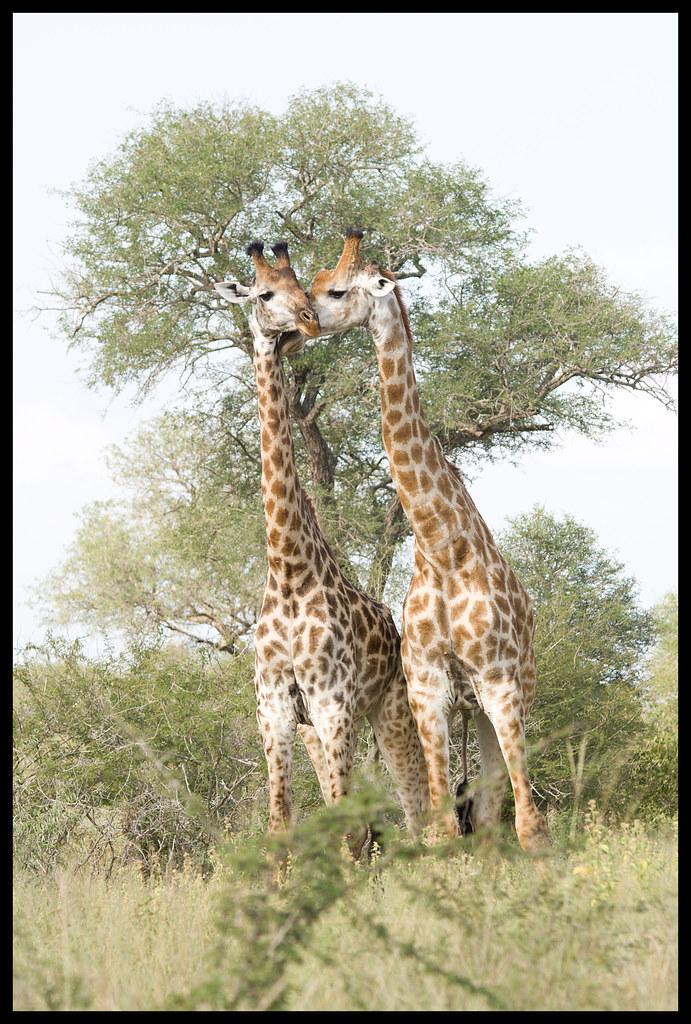 giraffe pair 1