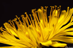 Dandelion Closeup (Marc G.C.) Tags: flowers summer flores flower macro art nature yellow canon de spring gardening flor tube natura dandelion amarillo extension len diente taraxacum officinale asterceas
