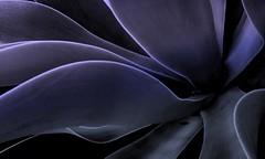 Agave nocturne (YAZMDG (15,000 images)) Tags: flowers bw leaves mobile mono leaf moss flora nb seeds fungi negative bark nsw lichen solarized fone botanics android pods posterized feuilles florafauna greyscale yaz revisited northernrivers colorconversion iages yazminamicheledegaye yazmdg htcdesirea8183 ystudio studiesofbotanics