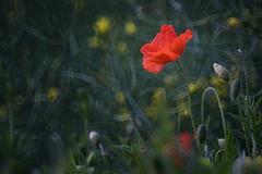 Time for red (CW61) Tags: red flower rot nature deutschland spring natur poppy blume frhling mohn niedersachsen mirrorlens spiegelobjektiv dransfeld