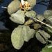 Erythrina fusca Lour.
