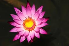 Lotus flower (5ERG10) Tags: pink orange flower beach sergio yellow thailand petals nikon holidays asia lotus tailandia april pollen loto aman 2012 d300 amanpuri nelumbonucifera amiti 5erg10