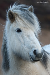 Mysterious Icelandic Horse (Midlands Reptiles & British Wildlife Diaries) Tags: iceland icelandic horse horses white winter cold lonesome lonely canon 7dmkii 7d2 7dmk2 100400 100400mm 100400l david nixon fauna forest ecology ltd