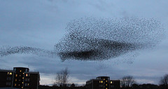 IMG_6396 (itchenbirds) Tags: starling winchester murmuration
