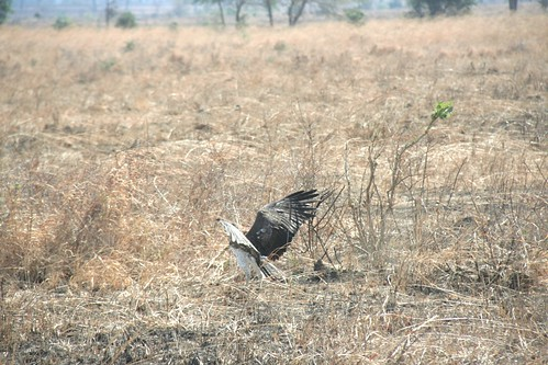 Martial Eagle attacking young Impala - 6 - Mikumi NP, Tanzania