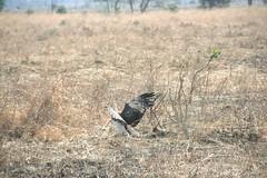 Martial Eagle attacking young Impala - 6 - Mikumi NP, Tanzania