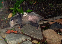 Mama Opossum