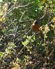 Poospiza rubecula (barbetboy) Tags: fbwnewbird fbwadded poospizarubecula