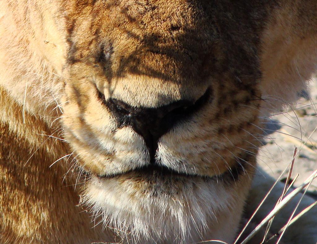 DSC08613 Lion snout