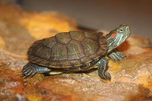 turtle redearedslider