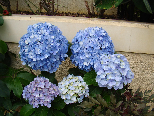 Photo: Hortensia