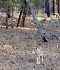 Arizona's own Wile E. Coyote! (AppleCrypt) Tags: coyote wild arizona usa animals america grandcanyon roadtrip flickraward applecrypt