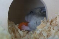 Hamster 006