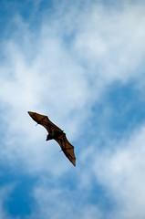 Flying Fox (element56) Tags: nikon sydney australia flyingf