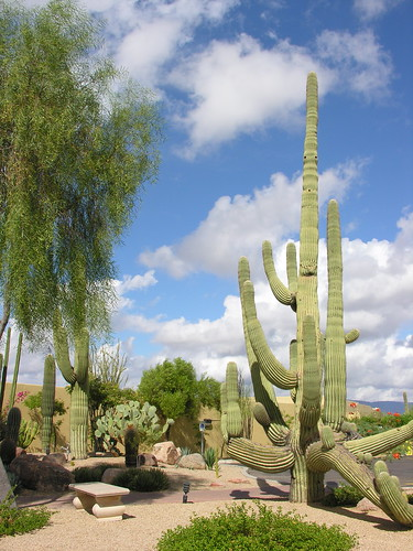Saguaro - like sentinels guarding the desert