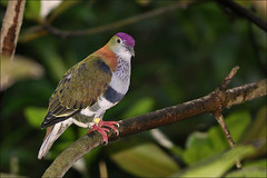 Purple-crowned Fruit-dove (Foto Martien) Tags: holland bird netherlands dutch zoo pigeon dove arnhem philippines nederland indoor burgers mangrove jungle botanicalgarden veluwe burgerszoo vogel ecosystem