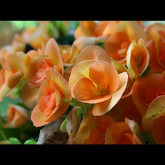 (digitalpsam) Tags: light flower color colour macro yellow pretty colours dof peach fresh bloom colourful lovely pure ohhh topseven impressedbeauty sammatta