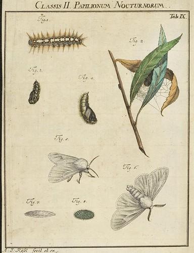 Classis I Papilionum Noctornum (Bomcyx salicis) V.1