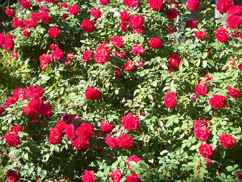 Rose Bush iPhone