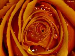 * WARM...! * (MONKEY50) Tags: flowers orange plants plant flower color colour macro water colors beautiful rose yellow digital petals colours drop petal soe natures flickraward awesomeblossoms flickrflorescloseupmacros pentaxart photographyforrecreation