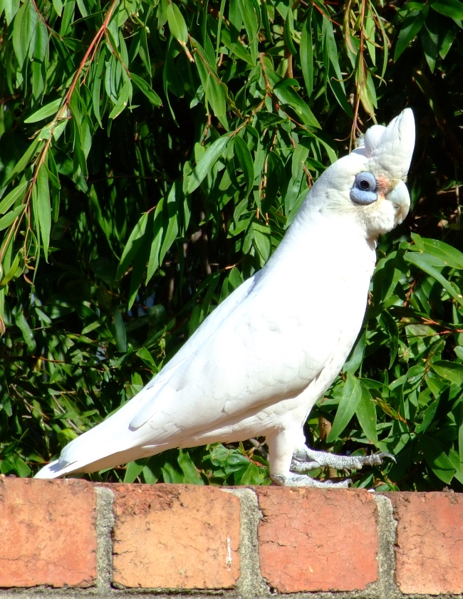 little corella 02