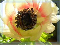 Poppy (hybrid) with pearls ... (✿ nicolas_gent ✿) Tags: friends soe topshots bej mywinners abigfave worldbest platinumphoto anawesomeshot goldstaraward natureselegantshots adriënnesmagicalmoments fleursetpaysages