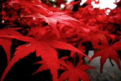 momiji (ir23) Tags: autumn red fall colors leaves japan maple momijigari momiji