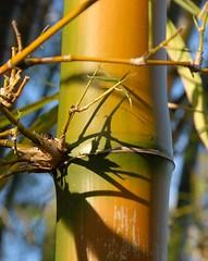 484.  Bamboo (Di's Eyes) Tags: plant green yellow bamboo distillery