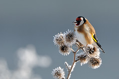 Goldfinch; Carduelis carduelis (m. geven) Tags: winter cold bird nature animal fauna feeding hoarfrost goldfinch freezing natuur dier avian eten vogel songbird avifauna kou klit koud gelderland putter whitefrost vorst fringillidae nld cardueliscarduelis rijp arctiumlappa stieglitz zangvogel chardonneret nederlandthenetherlands berijpt nachtvorst zaadeter greaterburdock distelvink breedingbird groteklit groteklis broedvogel vinkachtige grandebardane gemeentezevenaar foeragerend groseklette clownsvogeltje populairekooivogel arctiummajus
