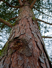 Tree Trunk (D7A1362) (swh) Tags: winter tree yorkshire treetrunk bark yorkshiresculpturepark tiltshift pce