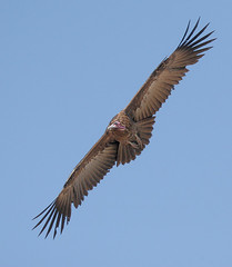 hooded vulture (michaelrosenbaum) Tags: africa bird nature canon wildlife botswana vulture chobe michaelrosenbaum lappetfacedvulture