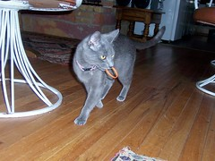 Fetch (k8southern) Tags: cats plum bluecat graycat