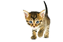Meow Man (Sergiu Bacioiu) Tags: pet cats baby pets white playing black cute beautiful animal horizontal standing cat studio fur one furry kitten feline pretty looking view shot little fuzzy sweet expression background small pussy young adorable kitty posing kittens whiskers domestic stare meow curious charming breed haired isolated carnivore pedigree lovable purebred todreamstime