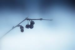 five (hardyc) Tags: blue snow black stem berries purple shriveled