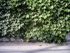 【写真】Leaves (izone 550)