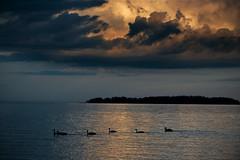 Before the storm (Timo Vehviläinen) Tags: sea sky storm water birds espoo finland canadagoose brantacanadensis linnut myrsky kanadanhanhi