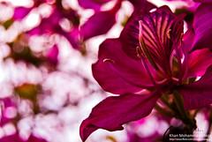 (Bauhinia) (Colourless Rainbow) Tags: pink flower floral nikon dof bokeh depthoffield polen shallow bangladesh khulna tangail kanchan falgun kuet irteza