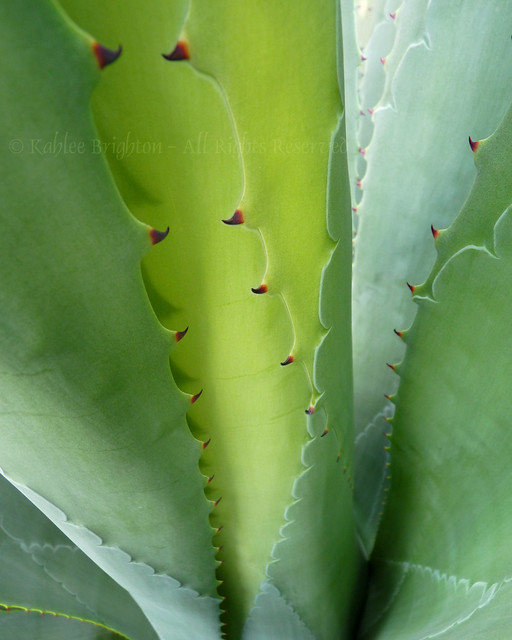 Agave Abstract IV